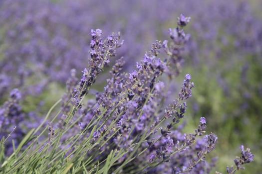 Lavender Medicinal Uses