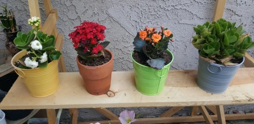 How to Care for Kalanchoes